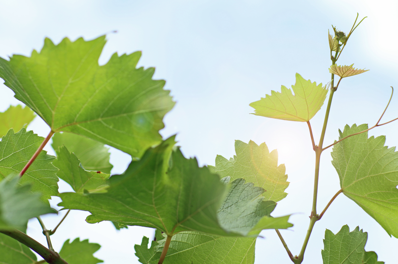Weinblätter Traubenplätzle