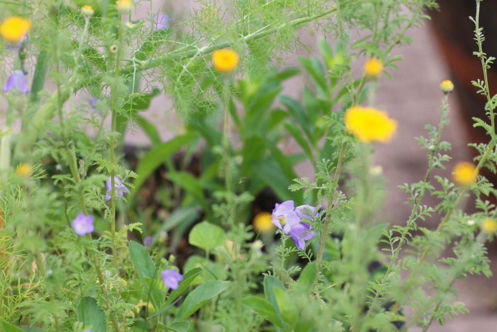 Glocklenblumen und Färberkamille in einem Pflanzfass