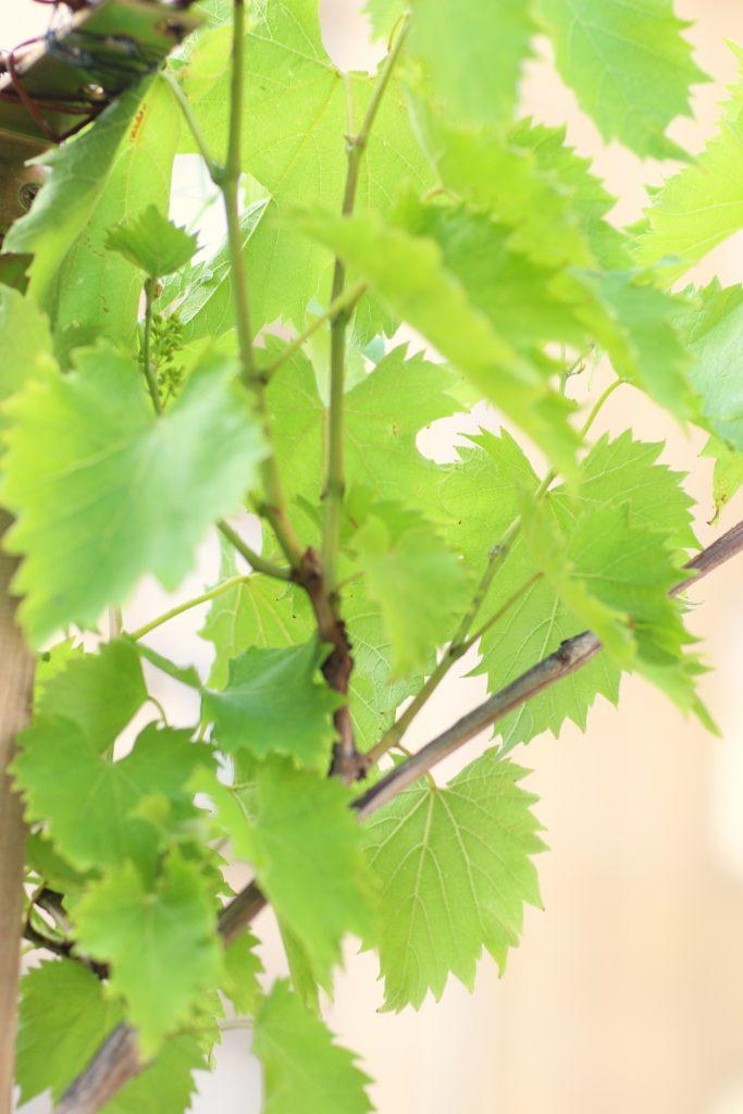 Weinblätter mit Rispen